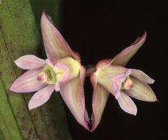 Polystachya bicarinata