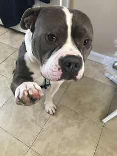 Osiris is an adoptable pit bull terrier searching for a forever family near Staten Island, NY. Use Petfinder to find adoptable pets in your area.