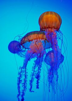 Not all jellies sting, but the sea nettle does. It hunts tiny drifting animals by trailing those long tentacles and frilly mouth-arms, all covered with stinging cells. When the tentacles touch prey, the stinging cells paralyze it and stick tight. From there, the prey is moved to the mouth-arms and finally to the mouth, where it's digested.
