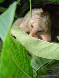 Miniature sized Ant Eater. One of six discovered.