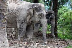 Hundreds of hotspots burn Tesso Nilo National Park, threatening elephants http://shar.es/vkG0u