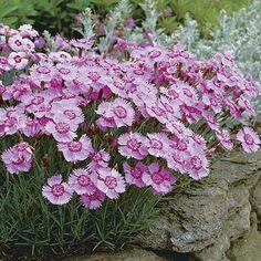 Allwood hybrids. Latin name: Dianthus x allwoodii. Zone 5-9