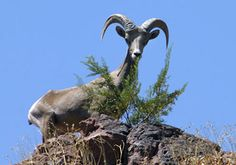 Peekaboo!  Just a Big Horn Sheep spotted while Kayaking Black Canyon on the Colorado River with #desertadventures!