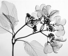 Hydrangea Steven N. Meyers has turned X-ray images of flowers and plants into fine art. Contemporary Photography, Fine Art Photography, Xray Flower, Wow Art, Frames On Wall, Online Art, Flower Power, Photo Art, Floral