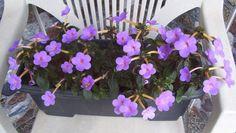 Florência lilás
