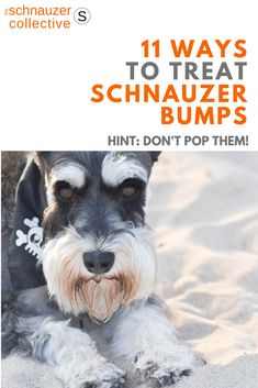 What Are Schnauzer Bumps? (Can They Be Popped and Infected?) - The Schnauzer Collective Schnauzer Breed, Giant Schnauzer, Miniature Schnauzer, Schnauzer Cut, Animals And Pets, Cute Animals, Daisy Dog, Skin Bumps, Dog Pin