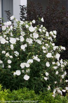 Shrubs Rose of Sharon (Hibiscus syriacus 'White Chiffon™') - Proven Winners - Hibiscus Tree, White Hibiscus, Hibiscus Flowers, Shrubs For Landscaping, Garden Shrubs, Landscaping Ideas, Landscaping Company, Shade Garden, Garden Plants