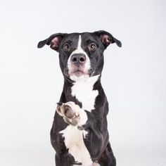 7/8/16Lake - URGENT - located at Dekalb County Animal Shelter in Decatur, Georgia - 1 year old Am. Pit Bull Mix - If there is one thing Lake loves, it is a good handshake! This sweet girl is eager to please, very treat motivated, and as happy as can be. She loves to practice tricks and would probably really enjoy learning more fun things. Lake is friendly, lovable, and the best hand-shaker around! Her adoption includes her spay, microchip, vaccinations, and more!
