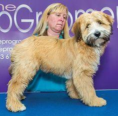 How Marlo's hair should be cut - Tibetan Terrier puppy cut