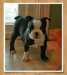 New Boston Baby named Titus! https://www.facebook.com/bterrierdogs