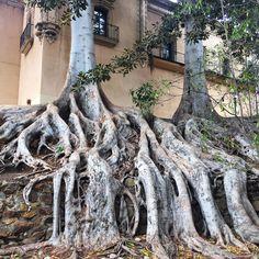 #sandiego #california #balboapark #trees #treeroots Tree Roots, Tree Sculpture, San Diego, California, Garden, Instagram Posts, Flowers, Plants, Garten