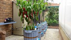 GROWING CAPSICUM.....Bull's Horn Capsicum grow best in full sun in warm to hot weather.  They need well structured rich organic soil and a continuous water supply for best results.  My 60ltr Ecobins provide both with their built-in water tanks and worm farms. http://joharthash.blogspot.com.au/p/growing-capsicum.html