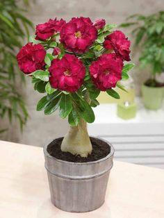 Rose du désert à fleurs doubles rouges