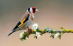 Colorful Bird On Flowering Branch, birds, animals, tree branch HD wallpaper Beautiful Bird Wallpaper, Nature Wallpaper, Beautiful Birds, Hd Wallpaper, Tree Branch Wallpaper, Conure Bird, Pink Flowering Trees, Black And White Birds, White Doves
