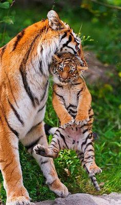 Les tigres étaient estimés à 100 000 au XIXème siècle mais ils sont aujourd'hui en voie d'extinction. Voir http://tigreland.e-monsite.com/pages/venir-en-aide/les-causes-de-la-disparition-des-tigres.html sur les causes de leur disparition.
