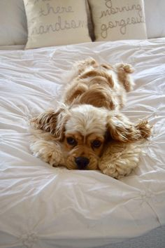 """Check out our website for additional details on """"cocker spaniel puppies"""". It is a superb place to read more. American Cocker Spaniel, Cocker Spaniel Puppies, Clumber Spaniel, English Cocker Spaniel, Cute Puppies, Cute Dogs, Dogs And Puppies, Doggies, Spaniel Breeds"""