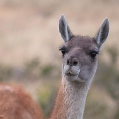 Guanaco Patagonia by alsocan