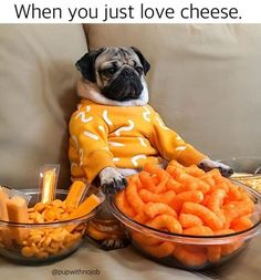 Pug puppies need a lot of care. Pugs ought to be brushed regularly Funny Food Memes, Funny Animal Memes, Cute Funny Animals, Dog Memes, Funny Animal Pictures, Cute Baby Animals, Funny Dogs, Pug Pictures, Pug Puppies