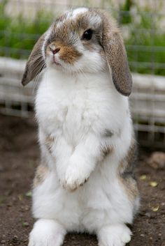 #Baby Mini Lop #Cute