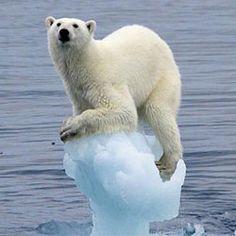 Polar bears in danger of extinction! Polar Bear On Ice, Save The Polar Bears, What A Wonderful World, Polar Bear Climate Change, Sankta Lucia, Polaroid, Arctic Ice, Cloud Mining, Climate Change Effects