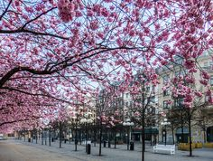 most beautiful places in sweden | Cherry blossoms in Kungsträdgården, Stockholm source: Priscilla ...