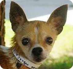 New York, NY - Chihuahua/Beagle Mix. Meet Dollop, a dog for adoption. http://www.adoptapet.com/pet/16232119-new-york-new-york-chihuahua-mix