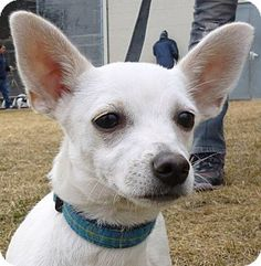 Meet Lady Bug! This chihuahua puppy is looking for his forever home! Lady Bug is…