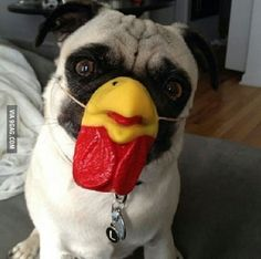 A Pug dressed up as a Chicken!