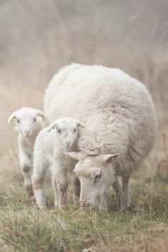 Mother sheep with twins