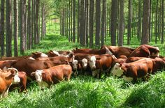 Integração Lavoura Pecuária Floresta - ILPF - Sistema de cultivo agroforestal