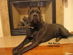 Rico posing by the fireplace waiting for Santa to come. He is the proud daddy to 5 #canecorsopuppies