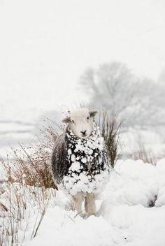 ♥ ~ ♥ Sheep ♥ ~ ♥ Herdwick Sheep in Cumbria England, the hardiest of all British sheep Farm Animals, Animals And Pets, Cute Animals, Animals In Snow, Wild Animals, Beautiful Creatures, Animals Beautiful, Wooly Bully, Puppy Bandana
