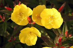 Wiesiołek to znana i ceniona roślina lecznicza i ozdobna