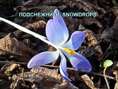 Beautiful video: Snowdrops and crocuses