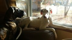Great dane Philmore and Gracie waiting for their boy
