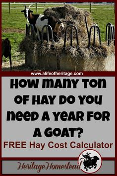 Goat feed: Use this FREE Hay Cost Calculator for goats. This will help you make a plan and know how much hay to buy a year. Keeping Goats, Raising Goats, Raising Farm Animals, Raising Chickens, Mini Goats, Baby Goats, Goat Feeder, Hay Feeder For Goats, Goat Barn