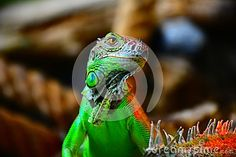 Lizzard iguana green reptile animal wildlife dragon nature eye zoo wild macro pet head closeup skin tropical closeup terrarium pet scale amphibian reptile