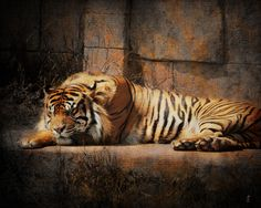 Drawn tigres sleeping tiger - pin to your gallery. Explore what was found for the drawn tigres sleeping tiger Sleeping Tiger, Sleeping Drawing, Tiger Photography, Artistic Photography, Big Cats Art, Cat Art, Siberia, Tiger Art, Tiger Tiger