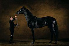 Akhal Teke At - Horse