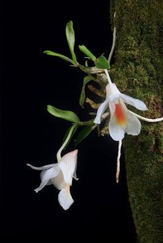 Dendrobium christyanum is from Thailand, Vietnam and China and has huge flowers for the size of the plant. My plant is about 5 cm tall...