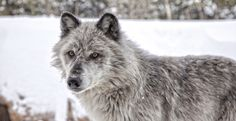Protect Yellowstone Park Wolves With a No-Hunting and No-Trapping Buffer Zone in Montana and Idaho!  Please Sign & Share Widely!