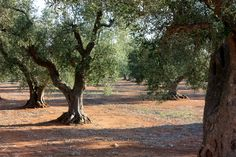 These are some of the trees providing for our natural olve oil. Get more information on www.oliveoil.ch