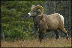 Bighorn Sheep Hunting with my Father--- Joe Pavlich (Licensed Funeral Director)