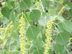 Tallow Tree Honey