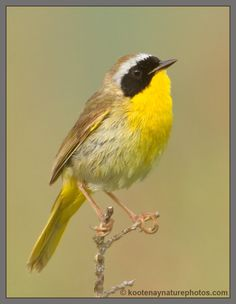 Common Yellowthroat - Pescadero Marsh, 2/15/15