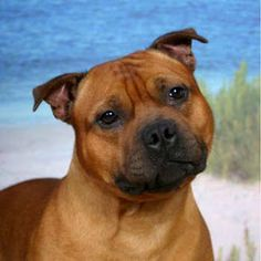 Staffordshire Bull Terrier:  look at that face: