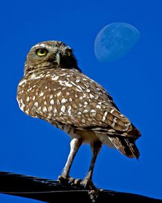 Burrowing Owl near Marana, Arizona.