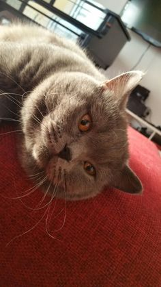 relaxing on a red sofa british shorthair blue cats