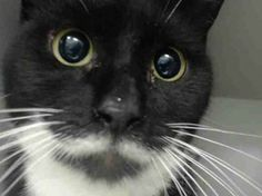 TO BE DESTROYED 2/13/14 ** *SCARED OLDER GIRL NEEDS YOU FOR HER VALENTINE! Brooklyn Center My name is TULIP. My Animal ID # is A0991332. I am a female black and white domestic sh mix. The shelter thinks I am about 8 YEARS old. I came in the shelter as a STRAY on 02/08/2014 from NY 11365, owner surrender reason stated was STRAY.  https://www.facebook.com/PetsOnDeathRow/photos/a.576546742357162.1073741827.155925874419253/749092851769216/?type=1&relevant_count=1