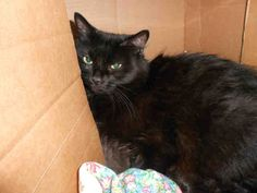 BOO KITTY (sweet senior) PITTSBURGH, PA...PetHarbor.com: Animal Shelter adopt a pet; dogs, cats, puppies, kittens! Humane Society, SPCA. Lost & Found.